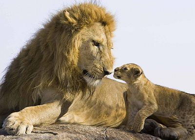 animals, cubs, lions, baby animals - related desktop wallpaper