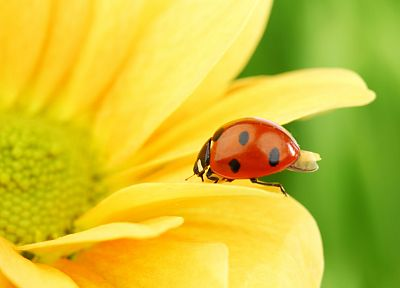 nature, flowers, insects, plants, flower petals, ladybirds - desktop wallpaper