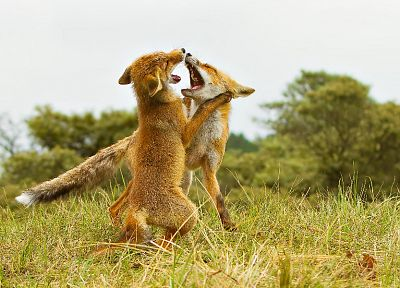 animals, fight, wildlife, foxes - related desktop wallpaper