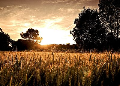 sunset, landscapes, nature, wheat - desktop wallpaper