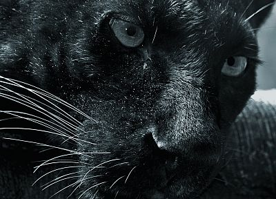black, cats, animals, panthers - related desktop wallpaper