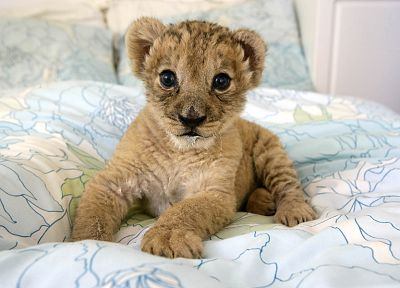 animals, beds, lions, baby animals - related desktop wallpaper