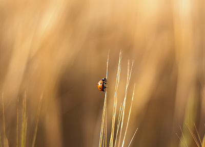 nature, insects, summer, ladybirds - desktop wallpaper