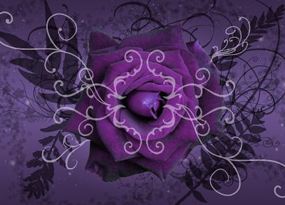 flowers, purple, floral, roses - related desktop wallpaper