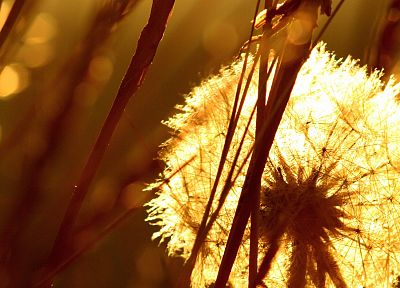 sepia, macro, dandelions, depth of field - random desktop wallpaper