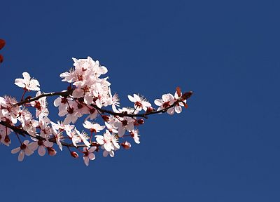 cherry blossoms, flowers, pink flowers, blue skies - desktop wallpaper