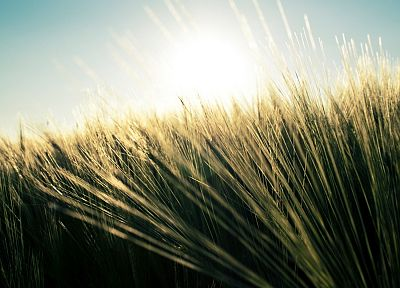 nature, grass, fields, wheat, plants - random desktop wallpaper