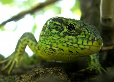 green, lizards, depth of field - random desktop wallpaper