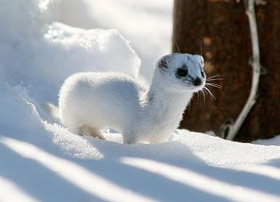 winter, snow, outdoors, ferret, ermine - random desktop wallpaper