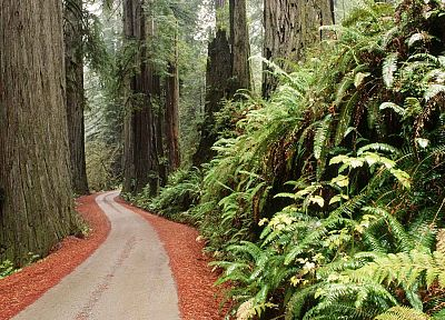 trees, California, ferns, parks, National Park - related desktop wallpaper