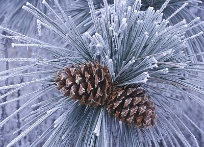 winter, trees, pinecones, evergreens, pine trees - desktop wallpaper