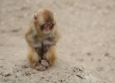 animals, monkeys, closed eyes, baby animals - desktop wallpaper