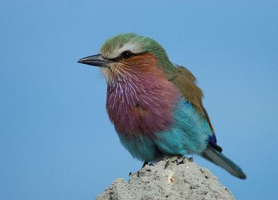 birds, Lilac-breasted Roller - desktop wallpaper