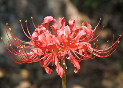flowers, lilies, spider lilies - related desktop wallpaper