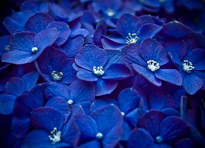 nature, flowers, macro, blue flowers, Hydrangeas - desktop wallpaper
