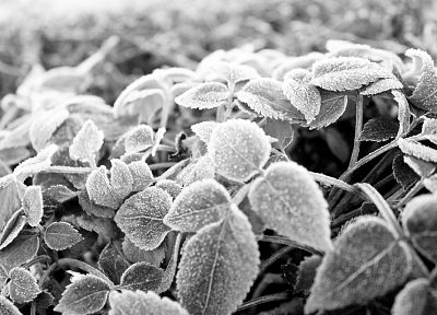 nature, leaves, plants, monochrome - desktop wallpaper