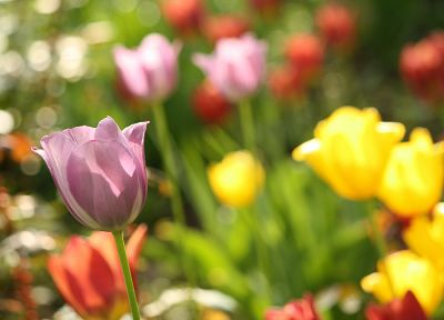 nature, flowers, tulips - random desktop wallpaper