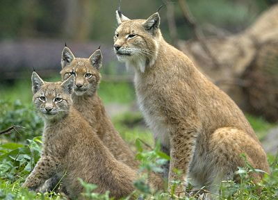 nature, animals, lynx, feline - random desktop wallpaper