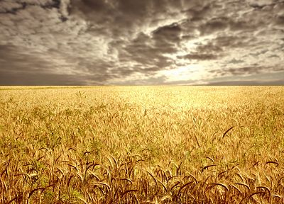 landscapes, fields, wheat, golden - random desktop wallpaper