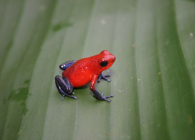 animals, frogs, Costa Rica, amphibians, Poison Dart Frogs - related desktop wallpaper
