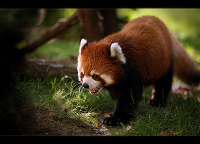 nature, animals, red pandas - related desktop wallpaper