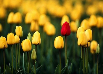 nature, flowers, tulips, macro, depth of field, yellow flowers - related desktop wallpaper