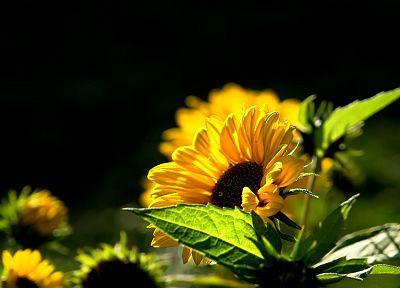 nature, flowers, macro, sunflowers - related desktop wallpaper