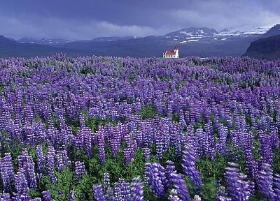 mountains, landscapes, fields, Iceland, Lupine - related desktop wallpaper