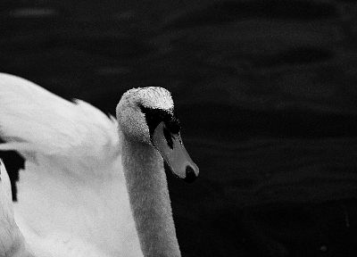 water, nature, swans, monochrome, greyscale - related desktop wallpaper
