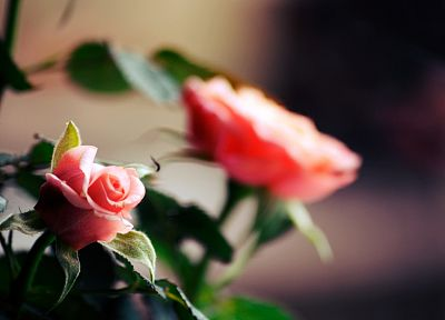 flowers, plants, depth of field, roses - desktop wallpaper