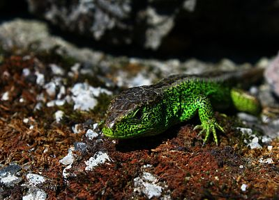 nature, lizards, reptile - related desktop wallpaper