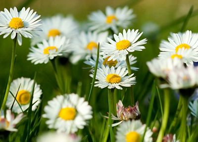nature, flowers, grass, spring, daisies - related desktop wallpaper