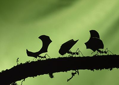 insects, ants, leaves, silhouettes, branches - random desktop wallpaper