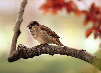birds, sparrow, depth of field, branches - random desktop wallpaper
