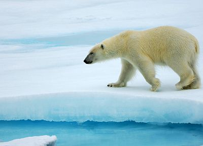 animals, arctic, polar bears - random desktop wallpaper