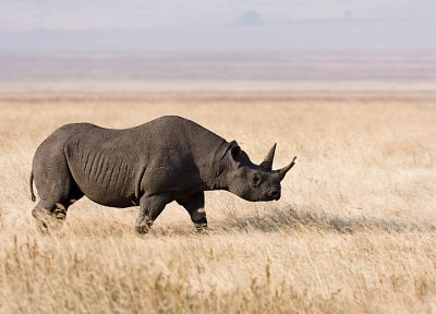 nature, animals, grass, rhinoceros, Africa - random desktop wallpaper