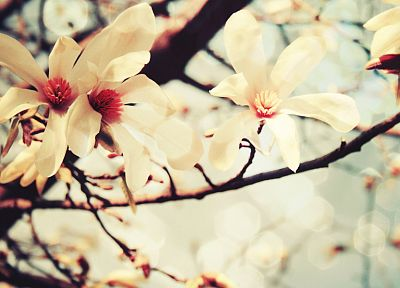 cherry blossoms, flowers, macro - random desktop wallpaper