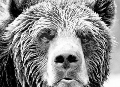 animals, grayscale, bears - related desktop wallpaper