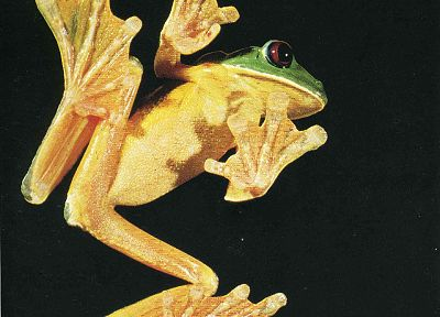 frogs, Red-Eyed Tree Frog, amphibians - related desktop wallpaper