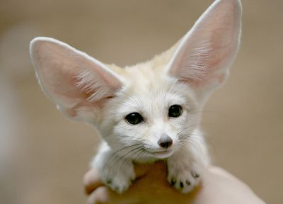 animals, fennec fox, foxes - related desktop wallpaper