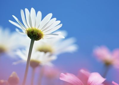 nature, flowers, daisy, plants - related desktop wallpaper
