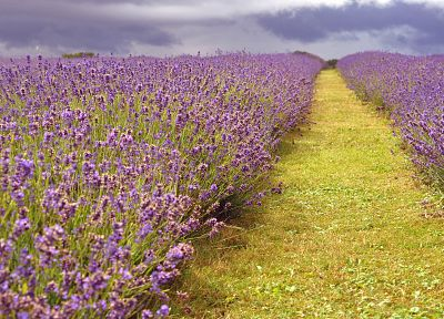nature, flowers, lavender - random desktop wallpaper