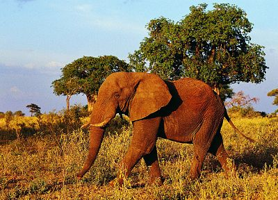 trees, animals, wildlife, fields, elephants, Africa - related desktop wallpaper