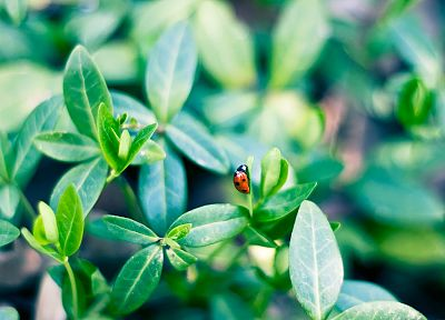 green, nature, insects, plants, depth of field, ladybirds - random desktop wallpaper
