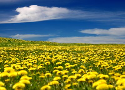 fields, marigold, yellow flowers - random desktop wallpaper