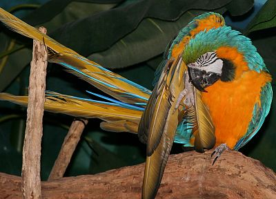 birds, parrots, Blue-and-yellow Macaws - desktop wallpaper