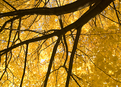 trees, yellow - desktop wallpaper