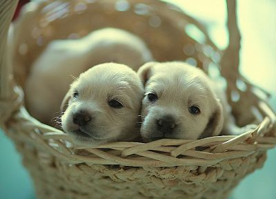animals, puppies, baskets - random desktop wallpaper