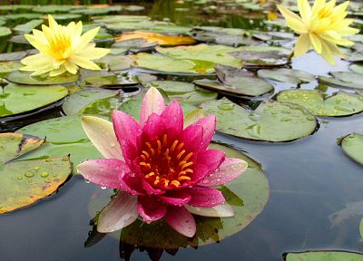 nature, flowers, plants, lily pads, water lilies - related desktop wallpaper