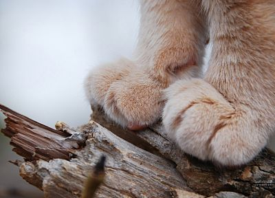 cats, animals, feline, lions, paws - related desktop wallpaper